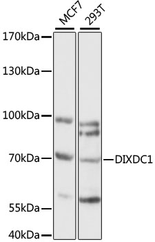 DIXDC1 Antibody - Western blot analysis of extracts of various cell lines, using DIXDC1 antibody at 1:1000 dilution. The secondary antibody used was an HRP Goat Anti-Rabbit IgG (H+L) at 1:10000 dilution. Lysates were loaded 25ug per lane and 3% nonfat dry milk in TBST was used for blocking. An ECL Kit was used for detection and the exposure time was 60S.