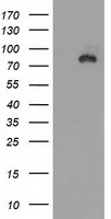 DLG3 / SAP102 Antibody - HEK293T cells were transfected with the pCMV6-ENTRY control (Left lane) or pCMV6-ENTRY DLG3 (Right lane) cDNA for 48 hrs and lysed. Equivalent amounts of cell lysates (5 ug per lane) were separated by SDS-PAGE and immunoblotted with anti-DLG3.