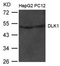 Western blot of extract from HepG2 and PC12 cells using DLK1 antibody