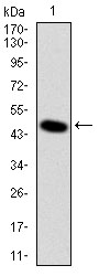 Western blot using DLK1 monoclonal antibody against human DLK1 (AA: 174-349) recombinant protein. (Expected MW is 44.9 kDa)