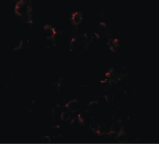 DLK1 / Pref-1 Antibody - Immunofluorescence of DLK1 in HepG2 cells with DLK1 antibody at 20 ug/ml.