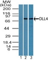 Western blot of DLL4 in HUVEC cell lysate using 1) preimmune sera at 1:5000 and 2) Polyclonal Antibody to DLL4 at 3 ug/ml, and 3) mouse embryo body lysate at 6 ug/ml. Goat anti-rabbit Ig HRP secondary antibody and PicoTect ECL substrate solution were used for this test.