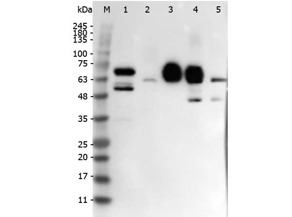 DLL4 Antibody - Western Blot of rabbit anti-DELTA-4 antibody. Lane 1: Mouse Pancreas Whole Cell Lysate. Lane 2: HUVEK Whole Cell Lysate. Lane 3: Human rDLL4. Lane 4: HEK293 Whole Cell Lysate + Human rDLL4. Lane 5: HEK293 Whole Cell Lysate. Load: 10 µg per lane for Whole Cell Lysates or 50 ng for recombinant protein. Primary antibody: DELTA-4 antibody at 1:1,000 overnight at 4°C. Secondary antibody: Peroxidase rabbit secondary antibody at 1:40,000 for 30 min at RT. Block: Blocking Buffer for Fluorescent Western Blotting (MB-070) for 30 min at RT. Predicted/Observed size: 74 kDa, 74 kDa for DELTA-4. Other band(s): Not Identified.