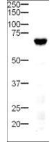 DLL4 Antibody - Western Blot of rabbit anti-Delta-4 antibody. Lane 1: mouse pancreatic tissue. Load: 20 µg per lane. Primary antibody: Delta-4 antibody at 1:500 for overnight at 4°C. Secondary antibody: HRP-labeled Goat anti-Rabbit IgG secondary antibody at 1:5,000 for 1 hour at RT. A chemiluminescence system was used for signal detection using a 3 min exposure time. Block: 5% Goat Serum overnight at 4°C. Predicted/Observed size: 74 kDa, 70 kDa for Delta 4. Other band(s): none.