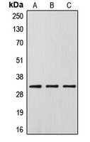 DLX5 Antibody - Western blot analysis of DLX5 expression in HeLa (A); Raw264.7 (B); PC12 (C) whole cell lysates.