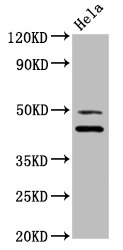 DNAJA1 / HDJ2 Antibody - Western Blot Positive WB detected in:Hela whole cell lysate All Lanes:DNAJA1 antibody at 3.4µg/ml Secondary Goat polyclonal to rabbit IgG at 1/50000 dilution Predicted band size: 45,38 KDa Observed band size: 45 KDa