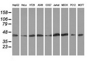 Western blot of extracts (35 ug) from 9 different cell lines by using anti-DNAJA2 monoclonal antibody.