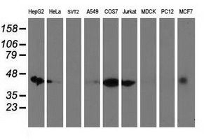 DNAJA2 Antibody - Western blot of extracts (35 ug) from 9 different cell lines by using anti-DNAJA2 monoclonal antibody (HepG2: human; HeLa: human; SVT2: mouse; A549: human; COS7: monkey; Jurkat: human; MDCK: canine; PC12: rat; MCF7: human).