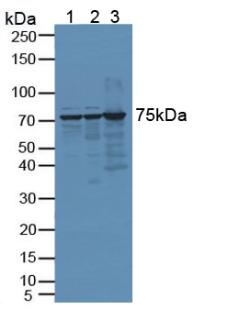 Western Blot; Sample: Lane1: Human Hela Cells; Lane2: Human 293T Cells; Lane3: Mouse Testis Tissue.