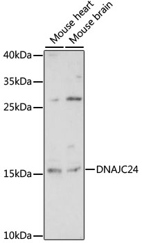 DNAJC24 Antibody - Western blot analysis of extracts of various cell lines, using DNAJC24 antibody at 1:1000 dilution. The secondary antibody used was an HRP Goat Anti-Rabbit IgG (H+L) at 1:10000 dilution. Lysates were loaded 25ug per lane and 3% nonfat dry milk in TBST was used for blocking. An ECL Kit was used for detection and the exposure time was 10s.