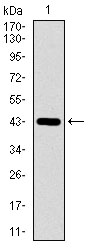 Western blot using DNAL4 monoclonal antibody against human DNAL4 recombinant protein. (Expected MW is 44.7 kDa)