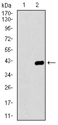 Western blot using DNAL4 monoclonal antibody against HEK293 (1) and DNAL4 (AA: 1-105)-hIgGFc transfected HEK293 (2) cell lysate.