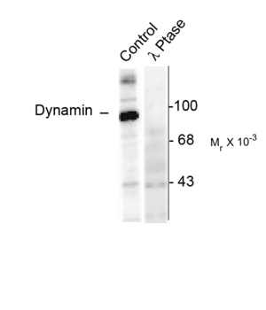 DNM1 / Dynamin Antibody - Western blot of rat hippocampal lysate stimulated with forskolin showing specific immunolabeling of the ~95k dynamin phosphorylated at Ser774 (Control). The phosphospecificity of this labeling is shown in the second lane (lambda-phosphatase: l-Ptase). The blot is identical to the control except that it was incubated in ll-Ptase (1200 units for 30 min) before being exposed to the Anti-Ser774 dynamin. The immunolabeling is completely eliminated by treatment with l-Ptase.