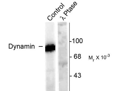 DNM1 / Dynamin Antibody - Western blot of rat hippocampal lysate stimulated with forskolin showing specific immunolabeling of the ~95k dynamin phosphorylated at Ser778 (Control). The phosphospecificity of this labeling is shown in the second lane (lambda-phosphatase: lambda phosph