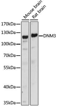 DNM3 / Dynamin 3 Antibody - Western blot analysis of extracts of various cell lines, using DNM3 antibody at 1:1000 dilution. The secondary antibody used was an HRP Goat Anti-Rabbit IgG (H+L) at 1:10000 dilution. Lysates were loaded 25ug per lane and 3% nonfat dry milk in TBST was used for blocking. An ECL Kit was used for detection and the exposure time was 30s.