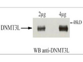 Anti-DNMT3L Antibody - Western Blot. Affinity Purified Rabbit anti-DNMT3L was used at a 1:1500 dilution to detect human DNMT3L by western blot after immunoprecipitation using the same antibody. Transfection of U2OS cells (10cm dish) was accomplished using 3 ug of GAL4-DNMT3L. Protein extraction using IPH at 150mM. For IP and WB conditions see Fuks et al. (2000). For western blotting the antibody was used at 0.4 ug/ml in TBS milk 2%, BSA 0.5%. Detection occurred using ECL. Note: this antibody works for western blotting only following immunoprecipitation. We have not had good success using the antibody directly for western blotting. The expected molecular weight of human DNMT3L is 43.6 kD.