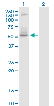 Western Blot analysis of DNTT expression in transfected 293T cell line by DNTT monoclonal antibody (M01), clone 4H5.Lane 1: DNTT transfected lysate (Predicted MW: 58.4 KDa).Lane 2: Non-transfected lysate.