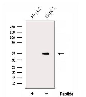 DOC2B Antibody - Western blot analysis of extracts of HepG2 cells using DOC2B antibody. The lane on the left was treated with blocking peptide.