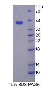 APOH / Apolipoprotein H Protein - Recombinant Apolipoprotein H By SDS-PAGE
