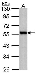 Sample (30 ug of whole cell lysate). A: A431 . 10% SDS PAGE. DOK3 antibody diluted at 1:1000.