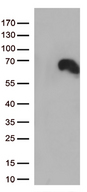 DOK3 Antibody - HEK293T cells were transfected with the pCMV6-ENTRY control. (Left lane) or pCMV6-ENTRY DOK3. (Right lane) cDNA for 48 hrs and lysed. Equivalent amounts of cell lysates. (5 ug per lane) were separated by SDS-PAGE and immunoblotted with anti-DOK3. (1:500)