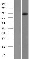DPP6 / Dipeptidylpeptidase 6 Protein - Western validation with an anti-DDK antibody * L: Control HEK293 lysate R: Over-expression lysate