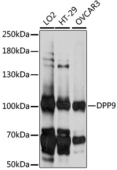 DPP9 Antibody - Western blot analysis of extracts of various cell lines, using DPP9 antibody at 1:1000 dilution. The secondary antibody used was an HRP Goat Anti-Rabbit IgG (H+L) at 1:10000 dilution. Lysates were loaded 25ug per lane and 3% nonfat dry milk in TBST was used for blocking. An ECL Kit was used for detection and the exposure time was 10S.