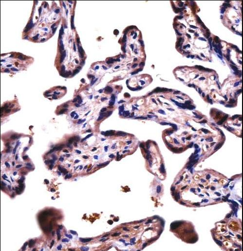 DPY19L4 Antibody - D19L4 Antibody immunohistochemistry of formalin-fixed and paraffin-embedded human placenta tissue followed by peroxidase-conjugated secondary antibody and DAB staining.