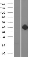 DRD2 / Dopamine Receptor D2 Protein - Western validation with an anti-DDK antibody * L: Control HEK293 lysate R: Over-expression lysate