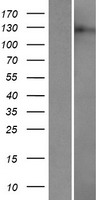 DRPLA / Atrophin-1 Protein - Western validation with an anti-DDK antibody * L: Control HEK293 lysate R: Over-expression lysate