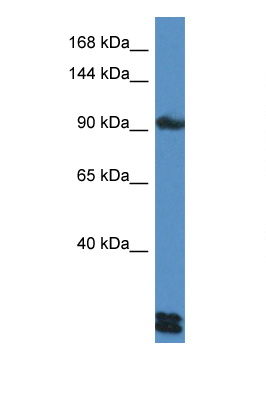 DSG3 antibody western blot of HepG2 Cell lysate. Antibody concentration 1 ug/ml.  This image was taken for the unconjugated form of this product. Other forms have not been tested.