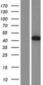 DTNA / Dystrobrevin Alpha Protein - Western validation with an anti-DDK antibody * L: Control HEK293 lysate R: Over-expression lysate