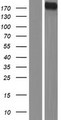 DUOX Protein - Western validation with an anti-DDK antibody * L: Control HEK293 lysate R: Over-expression lysate