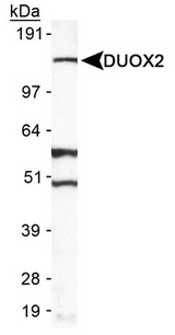 Detection of DUOX2 in A549 in cell lysate.  This image was taken for the unconjugated form of this product. Other forms have not been tested.