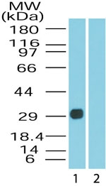 Western blot of DUSP13 in human skeletal muscle lysate in the 1) absence and 2) presence of immunizing peptide using antibody at 0.5 ug/ml.