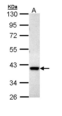 Sample (30 ug of whole cell lysate). A: Hep G2 . 10% SDS PAGE. MKP3 / DUSP6 antibody diluted at 1:1000.