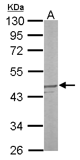 Sample (50 ug of whole cell lysate). A: mouse liver. 10% SDS PAGE. MKP3 / DUSP6 antibody diluted at 1:1000.