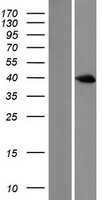 DUSP6 / MKP3 Protein - Western validation with an anti-DDK antibody * L: Control HEK293 lysate R: Over-expression lysate
