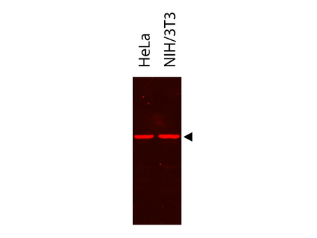 DYKDDDDK Tag Antibody - IR700DX - Western Blot. Western Blot showing detection of alpha tubulin from HeLa and NIH/3T3. Protein was run on a 4-20% gel, transferred to 0.45 micron nitrocellulose. After blocking with 1% BSA-TTBS (MB-013, diluted to 1X) 30 min at 20C, primary antibody was used at 1:2500 overnight at 4C. IRDye700DX secondary antibody was used at 1:20000 in Blocking Buffer for Fluorescent Western Blot (p/n MB-070) and imaged on the LiCor Odyssey imaging system. Arrow indicates correct 50 kD molecular weight position expected for alpha tubulin. This image was taken for the unconjugated form of this product. Other forms have not been tested.