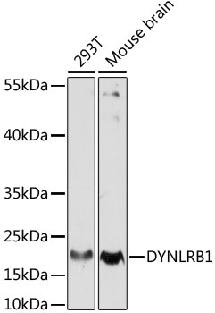 DYNLRB1 Antibody - Western blot analysis of extracts of various cell lines, using DYNLRB1 antibody at 1:1000 dilution. The secondary antibody used was an HRP Goat Anti-Rabbit IgG (H+L) at 1:10000 dilution. Lysates were loaded 25ug per lane and 3% nonfat dry milk in TBST was used for blocking. An ECL Kit was used for detection and the exposure time was 90s.