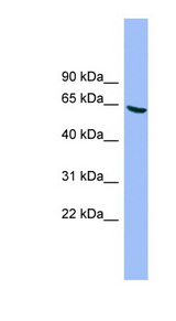 DYRK3 antibody LS-C115958 Western blot of HT1080 cell lysate.  This image was taken for the unconjugated form of this product. Other forms have not been tested.