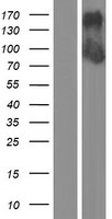 DZANK1 Protein - Western validation with an anti-DDK antibody * L: Control HEK293 lysate R: Over-expression lysate