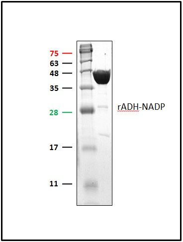 ADH1A / Alcohol Dehydrogenase Protein
