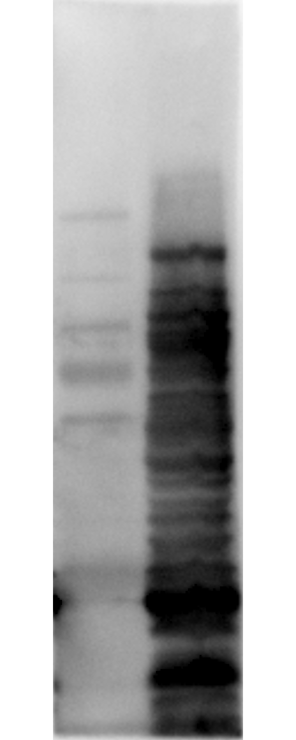 E. coli LMW Proteins Antibody - Western Blot of Rabbit anti-HCP antibody. Lane 1: Molecular Weight. Lane 2: Total HCP. Load: 10ug per lane. Primary antibody: Rabbit anti-HCP cocktail at 1:1000 for overnight at 4 degrees C. Secondary antibody: Goat anti-rabbit secondary antibody at 1:10,000 for 30 min at RT. Block: MB-070 for 1 hour at RT.