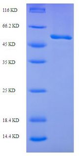 RecF Protein