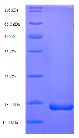 trxC / Thioredoxin 2 Protein