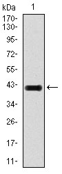 Western blot using E2F1 monoclonal antibody against human E2F1 recombinant protein. (Expected MW is 42.7 kDa)