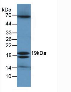 eco / Ecotin Antibody - Western Blot; Sample: E.coli Cells.