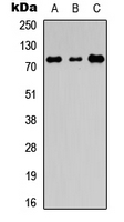 EDEM1 / EDEM Antibody - Western blot analysis of EDEM1 expression in HEK293T (A); Raw264.7 (B); PC12 (C) whole cell lysates.