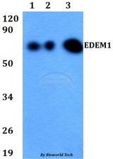 Western blot of EDEM1 antibody at 1:500 dilution. Lane 1: HEK293T whole cell lysate. Lane 2: Raw264.7 whole cell lysate. Lane 3: PC12 whole cell lysate.